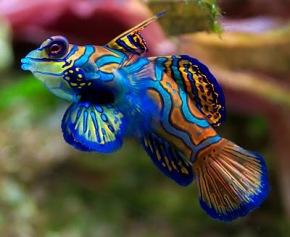 9c3cd-mandarinfish
